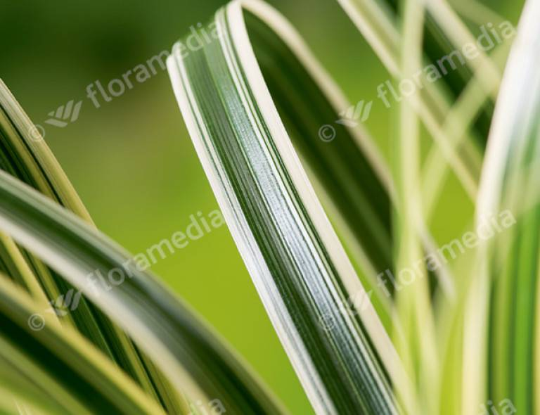 Carex 'Feather Falls' (PBR)