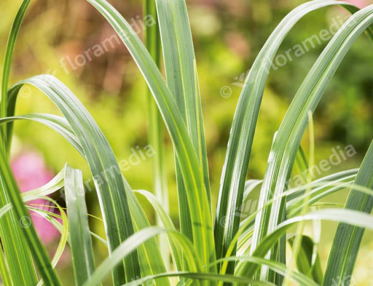 Carex 'Ribbon Falls' (PBR)