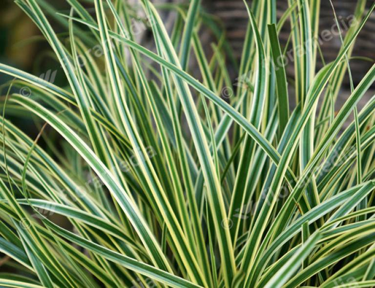 Carex oshimensis 'Evercream'