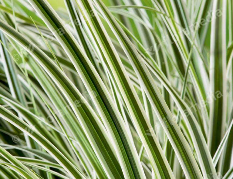 Carex oshimensis 'Everest' (PBR)