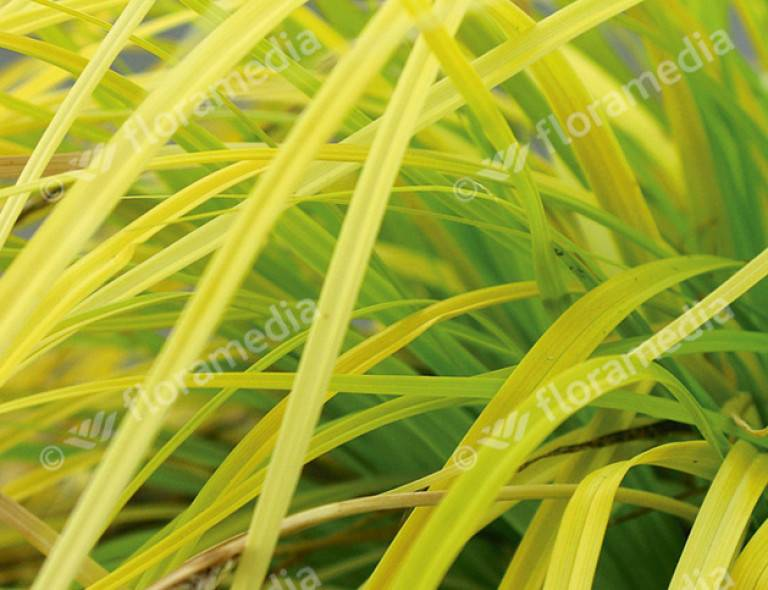 Carex oshimensis 'Everillo' (PBR)